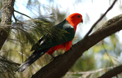 King parrot, Black Mountain, ACT