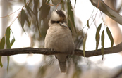 Kookaburra, Black Mountain, ACT