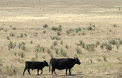 Beef cattle [ID:3276]