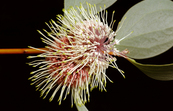 Sea Urchin Hakea, flower and leaves