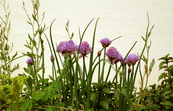 Chives in flower [ID:3093]