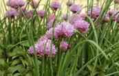 Chives in flower [ID:3581]