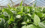 Cowpeas in a glasshouse