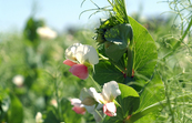 Pea plants in flower