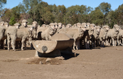 Sheep and trough in feedlot
