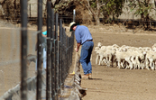 Hand-feeding sheep in feedlot