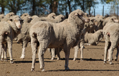 Sheep in feedlot [ID:3124]