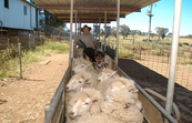 Sheep at shearing time