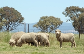 Sheep at Ginninderra Experimental Station