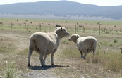 Sheep in paddock [ID:3459]