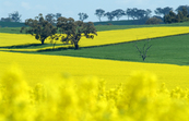Canola Crop with Wheat Crop in Background