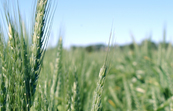 Wheat crop