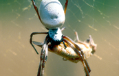 Golden orb spider [ID:4512]