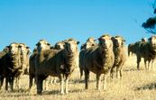Flock of sheep grazing on stubble at O'Halloran Hill near Adelaide, SA. 1992.