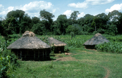 Equatorial rainforest is the backdrop to a village surrounded by a maize crop in Kenya, Africa. 1981.