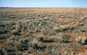 Mitchell Grass near Alice Springs in Central Australia, NT. 1978.