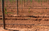 Drip irrigation installed at new vineyards near Angle Vale, ... [ID:4413]