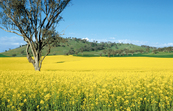 Canola crop near Ardlethan, NSW. [ID:4278]