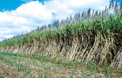 Young and mature sugarcane crop, Atherton. QLD