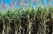 Mature sugarcane crop, Atherton. QLD