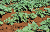 Potato crop on farm near Atherton, QLD.