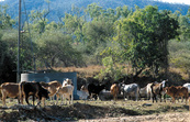 Cattle at bore. Banana Creek (along road to Ravenswood) QLD.