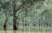 Flooded Barmah forest river gums, VIC