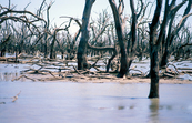 Dead trees in the Barrenbox Swamp near Griffith, NSW. 1997. [ID:4110]