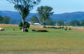 Cattle grazing on lush pastures at Bega, NSW. 2002.