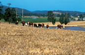 Cattle grazing on pastures, with earthen dam for stock watering in background, near Bega, NSW. 2002.