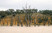 Dead river gums and limestone cliffs on the Murray River near Blanchetown, SA. 1989.