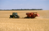 Harvesting wheat near Blyth in the mid north of South Australia. 1986.