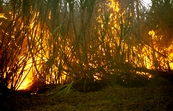 Burning sugar cane prior to harvesting at Frank Baletta's fa... [ID:4432]