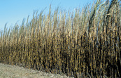 Recently burnt cane ready for harvest at Frank Baletta's farm, Brandon (near Ayr) Burdekin Irrigation Area, SE of Townsville.