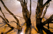 Dead trees in the Brukunga Pyrites Mine tailings dam, east o... [ID:4112]