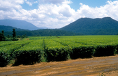 Tea plantation west of Cairns in the Atherton Tablelands of far north Queensland. 1992.