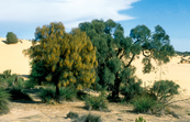Sheok trees on the Cooke Plains, south-east of Tailem Bend, South Australia. 1992.