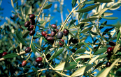 Olives on tree ready to harvest. Canberra, ACT. 2000.