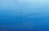 Reeds and reflection in water, Canberra. 2000.