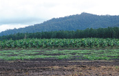 Rural scene in far north Queensland - Melon crop in foreground, banana plantation behind, with pine forest and rainforest in the background, 15 Kms north of Cardwell. QLD.