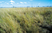 Aristyda grassland about 30Kms west of Charters Towers. QLD.