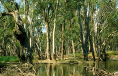 Fallen gums along the banks of Chowilla Creek, upstream from Renmark, SA. 1993.