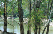 Chowilla Creek bank and river gums, Chowilla. SA.
