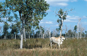 Cattle on improved pasture (stylo) at Woodhouse property, near Clare. QLD.