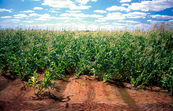 Maize crop at Coleambally, NSW. 2001