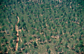Aerial view of native Cypress trees (Calitris) in Lester Sta... [ID:4702]