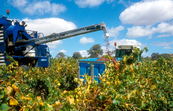 Grape harvesting machinery in operation at a vineyard in the... [ID:4712]