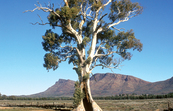 Casneaux's Tree with the ramparts of Wilpena Pound in the ba... [ID:4682]