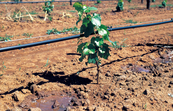 Trickler (dripper) irrigation of young vines at McWilliams Wines vineyards at Hanwood, near Griffith, NSW. 1995.
