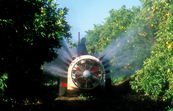 Spraying oranges in an orchard at Griffith, NSW. 2002.